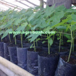 Agro Buah Segar Organik
