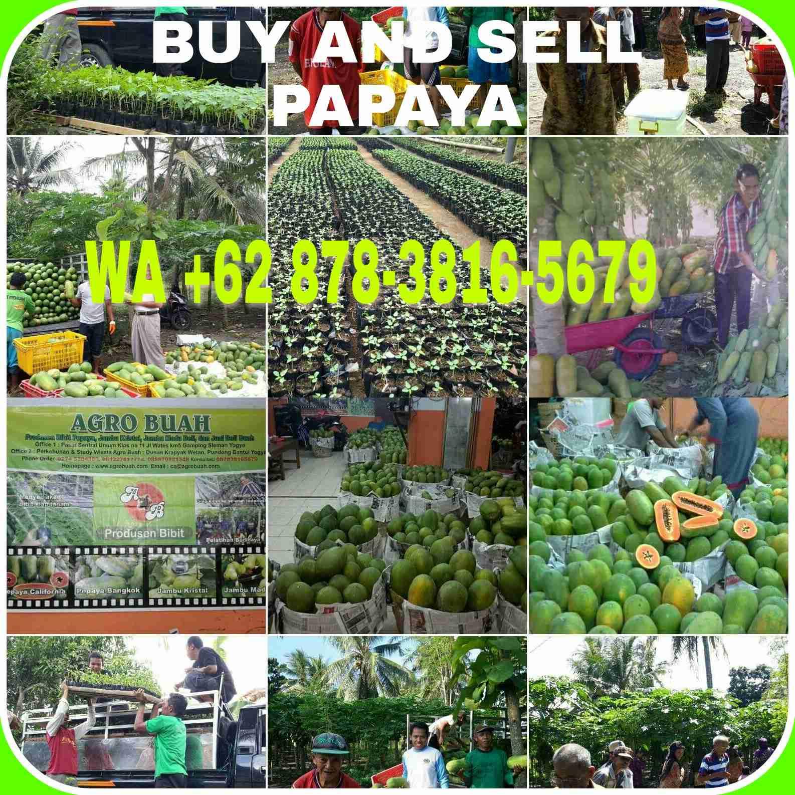 buy and sell fresh papaya