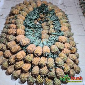 Grosir Nanas Madu Yogyakarta